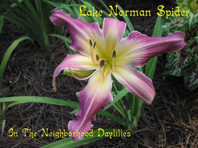 Lake Norman Spider  (Carpenter, K. 1981)-Daylily;Daylilies;CLICK PICTURE;Lake Norman Spider Daylily;1981 K. Carpenter Daylily;Award Winning Daylilies;Rose Pink Blend w' Cream Green Eye Daylily;Fragrant Daylilies;Extended Blooming Daylilies;Unusual Form Daylily
