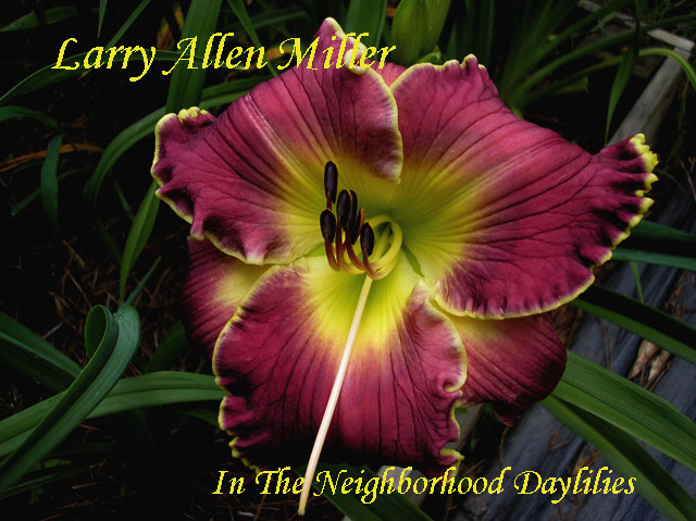 Larry Allen Miller  (Stamile,  2005)-Daylily;Daylilies;Daylillies;CLICK ON IMAGE TO ENLARGE;Daylily Larry Allen Miller;Award Winning Daylily;2005 Stamile Daylily;Purple w' Chartreuse Edge Daylily;Reblooming Daylilies