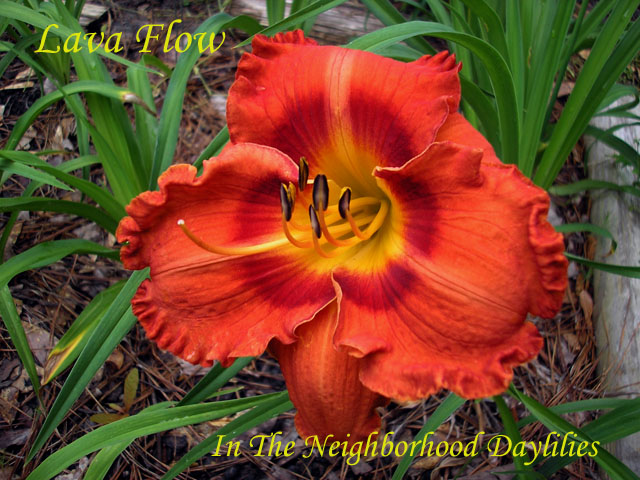 Lava Flow   (Smith, FR.  2005)-Daylily;Daylilies;Lava Flow Daylily;Frank Smith 2005 Daylily;Fragrant Daylily;Semi-evergreen Daylily;Tetraploid Daylily;Orange w' Red Eye Daylily
