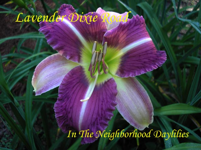 Lavender Dixie Road  (Reinke, B.,  2001)-Daylily;Daylilies;Daylily Lavender Dixie Road;2001 B. Reinke Daylily;Lavender Bitone w' White Midribs & Lavender Blue Band Daylily;Dormant Daylily
