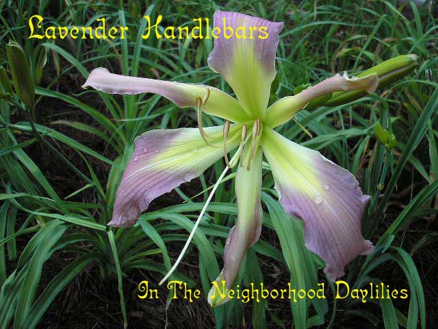 Lavender Handlebars  (Roberts, N., 1994)-CLICK PICTURE;Daylily Lavender Handlebars;N.Roberts Daylily;Lavender Self w' Large Green Throat Daylily;Award Winning Daylily;Perennial;Midseason Daylily;Unusual Form Daylily;Extended Blooming Time Daylily;Diploid Daylily;Dormant Daylily