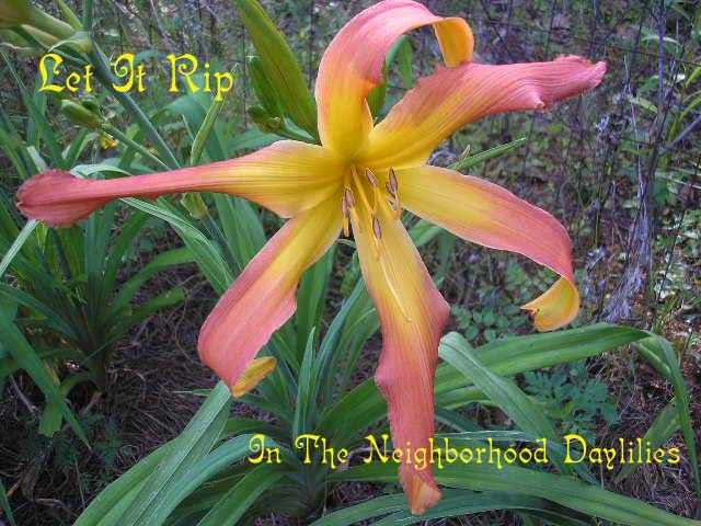Let It Rip  (Joiner, J., 1997)-CLICK PICTURE;Daylily Let It Rip;J.Joiner Daylily;Award Winning Daylily;Reblooming Daylilies;Spider Daylilies;Tall Daylily;Persimmon Orange Blend Daylily