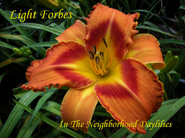 Light Forbes  (Trimmer, J.,  2004)-Daylily;Day Lily;Daylilies;Click IMAGE TO ENLARGE;Daylily Light Forbes;J. Trimmer 2004 Daylily;Orange w' Red Eye Daylily;Reblooming Daylilies;Tall Daylilies