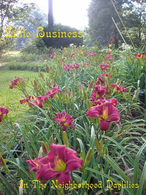 Little Business (Maxwell, T., 1971)  Four Fans-CLICK PICTURE;Daylily Little Business;T.Maxwell Daylily;Red Self w' Very Green Throat Daylily;Award Winning Daylily;Perennials;Affordable Daylilies;Early To Midseason Daylily;Reblooming Daylilies;Extended Blooming Time Daylilies;Tetraploid Daylily;Semi-evergreen Daylily