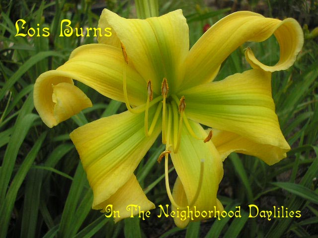 Lois Burns  (Temple, 1986)-Daylily;Daylilies;CLICK IMAGE TO ENLARGE;Daylily Lois Burns;Temple Daylily;Yellow Green Self Daylily;Award Winning Daylily;Spider Daylily;Perennials;Affordable Daylilies;Early Season Daylily;Reblooming Daylilies;Diploid Daylily;Evergreen Daylily
