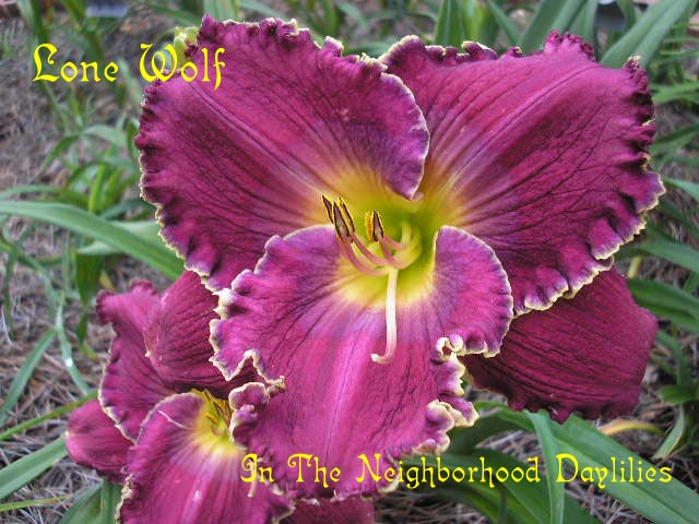 Lone Wolf   (Grace & Smith, 2004)-CLICK PICTURE;Daylily Lone Wolf;Grace & Smith Daylily;Purple w' Blue Watermark & White Edge Daylily;Perennials;Fragrant Daylily;Early To Midseason Daylily;Reblooming Daylilies;Tetraploid Daylily;Semi-evergreen Daylily