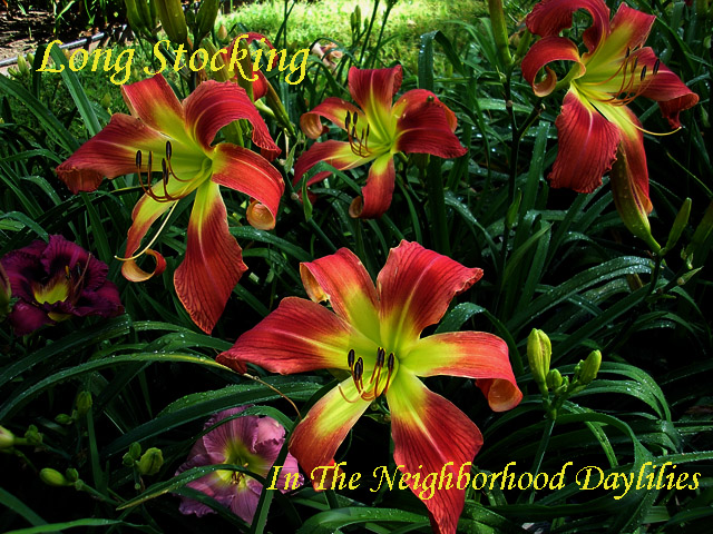 Long Stocking (Stamile,  1997)-Daylily;Daylilies;Daylily Long Stocking;Stamile 1997 Daylily;Red Self Spider Daylily;Award Winning Daylily;Reblooming Daylilies