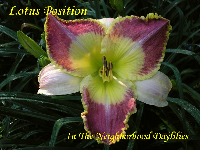 Lotus Position  (Rice, J.  2007)-Daylily;Daylilies;CLICK ON IMAGE TO ENLARGE;Daylily Lotus Position;J.Rice 2007 Daylily;Reddish Burgundy w'Large Cream Watermark Daylily;Reblooming Daylilies;Hary Evergreen Daylily