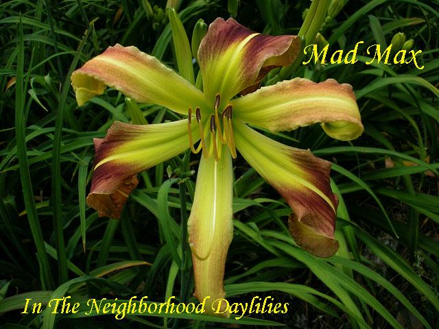 Mad Max  (Wilson & Schott,  1989)-Daylily;Daylilies;CLICK PICTURE;Mad Max Daylily;Wilson & Schott Daylily;Rosy Purple w' Deep Purple Eye Daylily;Unusual Form Daylily;Midseason Blooming Daylily