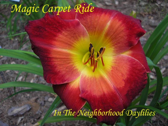 Magic Carpet Ride  (Kirchhoff, 1992)-CLICK PICTURE;Daylily Magic Carpet Ride;Kirchhoff Daylily;Mandarin Red w' Coral Orange Red Watermark Daylily;Award Winning Daylily;Perennial;Affordable Daylilies;Early To Midseason Daylily;Reblooming Daylilies;Extended Blooming Time Daylilies;Tetraploid Daylily;Evergreen Daylily