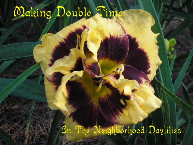 Making Double Time  (Kinnebrew, J., 1995)-CLICK PICTURE;Daylily Making Double Time;J.Kinnebrew Daylily;Yellow w' Deep Black Purple Eye Daylily;Double Daylily;Award Winning Daylily;Perennials;Midseason Daylilies; Diploid Daylily;Evergreen Daylily