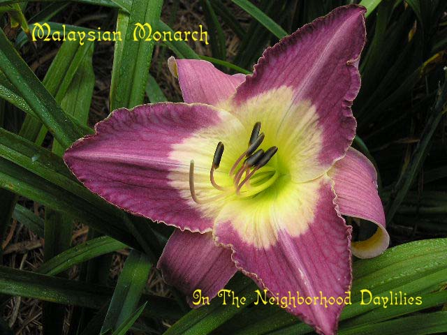 Malaysian Monarch  (Munson, R.W., 1986)-Daylily Malaysian Monarch;R.W.Munson Daylily;Burgundy Purple w' Huge Cream White Throat Ending In Green Daylily;Perennials;Affordable Daylilies;Early To Midseason Daylily;Reblooming Daylilies;Tetraploid Daylily;Semi-evergreen Daylily