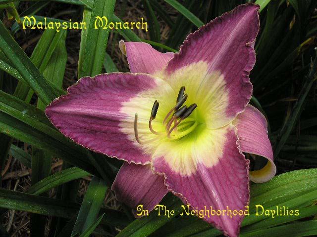 Malaysian Monarch  (Munson, R.W., 1986)-Daylily Malaysian Monarch;R.W.Munson Daylily;Burgundy Purple w' Huge Cream White Throat Ending In Green Daylily;Perennials;Affordable Daylilies;Early To Midseason Daylily;Reblooming Daylilies;Tetraploid Daylily;Semi-evergreen Daylily