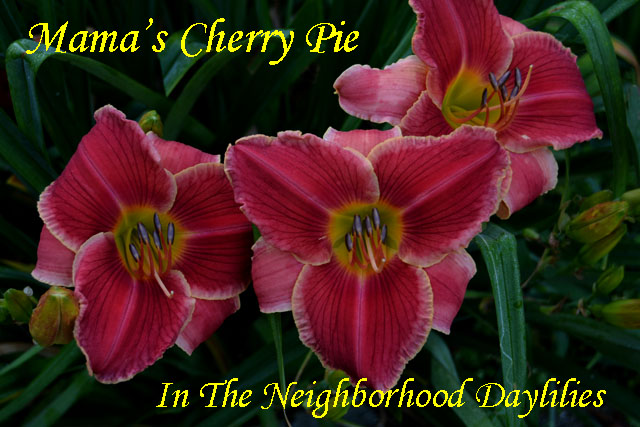 Mama's Cherry Pie (Shooter, F., 1998)-Daylily Mama's Cherry Pie;F.Shooter Daylily;Cherry Red w' Yellow Edge & Deeper Red Eye Daylily;Award Winning Daylily;Perennial;Midseason Daylily;Reblooming Daylilies;Affordable Daylilies;Tetraploid Daylily;Semi-evergreen Daylily