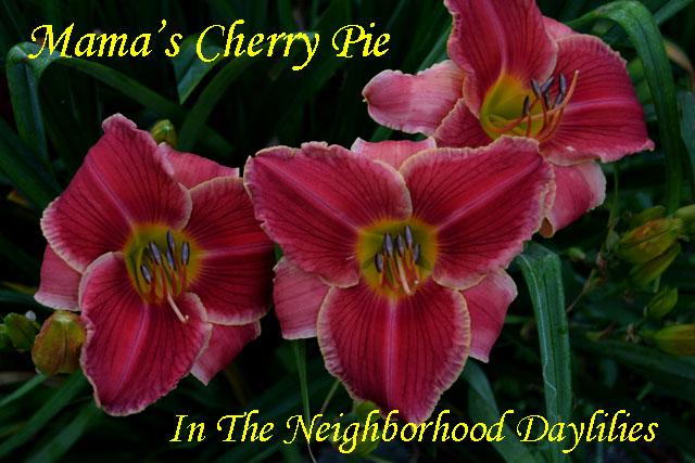 Mama's Cherry Pie (Shooter, F., 1998)-Daylily Mama's Cherry Pie;F.Shooter Daylily;Cherry Red w' Yellow Edge & Deeper Red Eye Daylily;Award Winning Daylily;Perennial;Midseason Daylily;Reblooming Daylilies;Affordable Daylilies;Tetraploid Daylily;Semi-evergreen Daylily