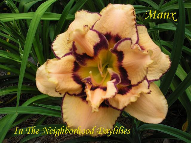 Manx   (Petit , 2008)-Daylily;Daylilies;Manx Daylily;Petit 2008 Daylily;Double Daylily;Peach w' Purple Eye & Edge DaylilyReblooming Daylilies;Fragrant Daylilies;Tall Daylily;