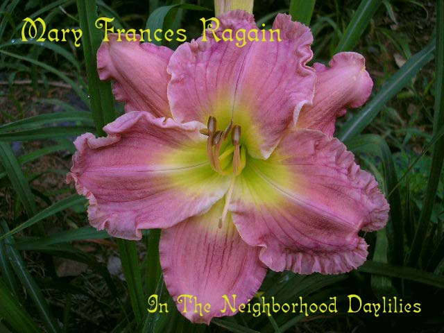 Mary Frances Ragain  (Carpenter, J., 1993)- CLICK ON DAYLILY IMAGE TO ENLARGE;Daylily Mary Frances Ragain;J.Carpenter 1993 Daylily;Pink Self Daylily;Award Winning Daylily;Perennials;Fragrant Daylilies;Mid To Late Season Daylily;Reblooming Daylilies;Affordable Daylilies;Diploid Daylily;Semi-evergreen Daylily
