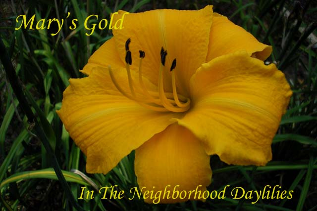 Mary's Gold  (McDonell, H.,  1984)-Daylily Mary's Gold;H.McDonell Daylily;Gold Orange Self Daylily;Award Winning Daylily;Perennial;Midseason Daylilies;Affordable Daylilies; Tetraploid Daylily;Dormant Daylily
