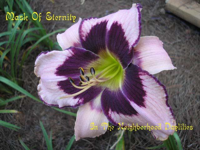 Mask Of Eternity  (Salter, 1996)-Daylily Mask Of Eternity;Salter Daylily;Cream w' Purple Eye Daylily;Award Winning Daylily;Perennials;Affordable Daylilies;Midseason Daylily;Reblooming Daylilies;Tetraploid Daylily;Evergreen Daylily