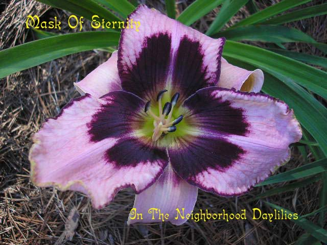 Mask Of Eternity  (Salter, 1996)-Daylily Mask Of Eternity;Salter Daylily;Cream w' Purple Eye Daylily;Award Winning Daylily;Perennials;Affordable Daylilies;Midseason Daylily;Reblooming Daylilies;Tetraploid Daylily;Evergreen Daylily