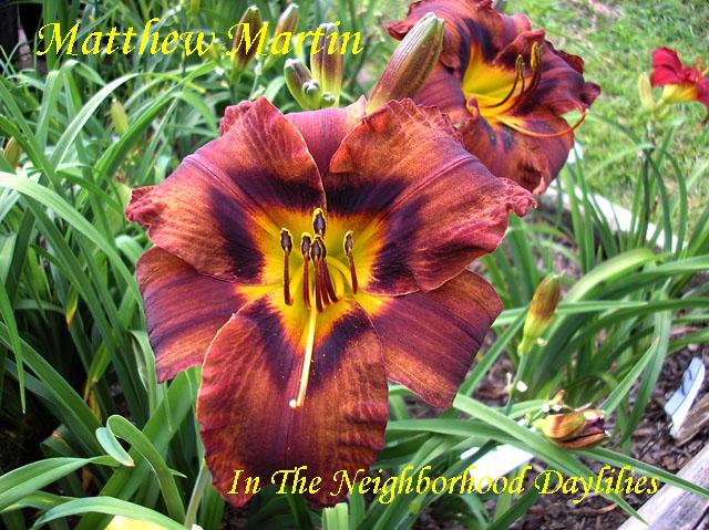 Matthew Martin  (Dougherty,  1992)-Daylily;Daylilies;Matthew Martin Daylily;Dougherty 1992 Daylily;Brown w' Purple Band Daylily;Dormant Daylily;Early to Midseason Blooming Daylily