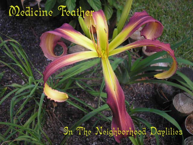 Medicine Feather  (Roberts, N., 2001)-Daylily Medicine Feather;N.Roberts 2001 Daylily;Light Garnet w' Darker Eye Daylily;Spider Daylily;Perennial;Early To Midseason Daylily;Reblooming Daylilies;Fragrant Daylilies;Extended Blooming Time Daylilies;Diploid Daylily;Semi-evergreen Daylily