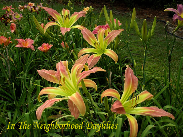 Memories Of Oz (Herrington, K., 2001)-Daylily Memories Of Oz;K.Herrington Daylily;Pink w' Darker Eye Daylily;Spider Daylily;Award Winning Daylily;Perennial;Midseason Daylily;Reblooming Daylilies; Diploid Daylily;Dormant Daylily