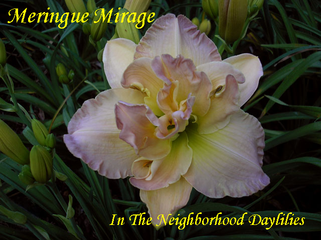 Meringue Mirage  (Apps,  1999)-Daylily;Daylilies;Day Lily;Daylillies;Daylily Meringue Mirage;1999 Apps Daylily;Award Winning Daylily;Cream & Yellow Orange & Pink Blend Above Green Yellow Throat Daylily;100% Double Daylily