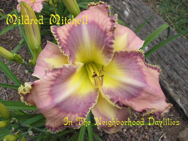 Mildred Mitchell  (Mitchell, K.  1998)-CLICK ON IMAGE TO ENLARGE;Daylily Mildred Mitchell;K. Mitchell 1998 Daylily;Lavender w' Blue Eye & Edge Daylily;Reblooming Daylilies;Award Winning Daylily