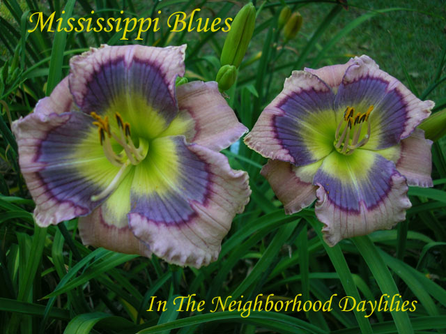 Mississippi Blues  (Stamile, 2004)-Daylily Mississippi Blues;Stamile Daylily;Cream w' Blue Violet Band Daylily;Perennials;Very Fragrant Daylilies;Early To Midseason Daylily;Reblooming Daylilies;Tetraploid Daylily;Evergreen Daylily