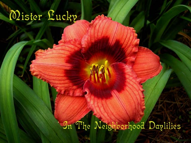 Mister Lucky  (Sellers,  1995)-CLICK PICTURE;Daylily Mister Lucky;Sellers Daylily;Red w' Dark Red Eyezone Daylily;Daylily Pictures;Perennials;Affordable Daylilies;Early Midseason Daylilies;Reblooming Daylilies