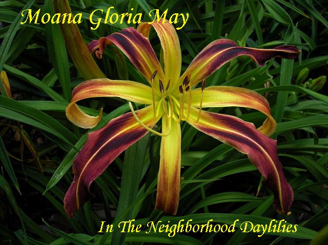 Moana Gloria May (Higgins,  1999)-Daylily;Daylilies;CLICK ON IMAGE TO ENLARGE;Moana Gloria May Daylily;Higgins 1999 Daylily;Burgundy Blend w'Darker Band Daylily;Reblooming Daylilies;Spider Daylily