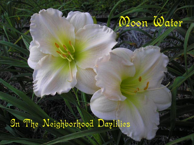 Moon Water  (Shooter, 2000)-Daylily Moon Water;Shooter Daylily;Cream Pink Polychrome w' Baby Pink Midribs Daylily;Perennial;Early To Midseason Daylily;Reblooming Daylilies;Fragrant Daylilies;Diploid Daylily;Dormant Daylily