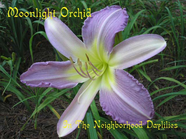 Moonlight Orchid  (Talbott, 1986)-Daylily;Daylilies;Day Lily;CLICK IMAGE TO ENLARGE;Daylily Moonlight Orchid;Talbott Daylily;Blue Lavender w' White Brushed Lavender Bicolor Daylily;Award Winning Daylily;Perennials;Fragrant Daylilies;Early To Midseason Daylily;Reblooming Daylilies;Extended Blooming Time Daylilies;Diploid Daylily;Semi-evergreen Daylily