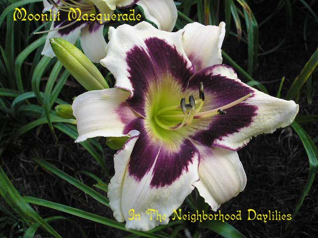 Moonlit Masquerade  (Salter, 1992)-Daylily Moonlit Masquerade;Salter Daylily;Cream w' Dark Purple Eye Daylily;Award Winning Daylily;Perennial;Affordable Daylilies;Early To Midseason Daylily;Reblooming Daylilies;Tetraploid Daylily;Semi-evergreen Daylily