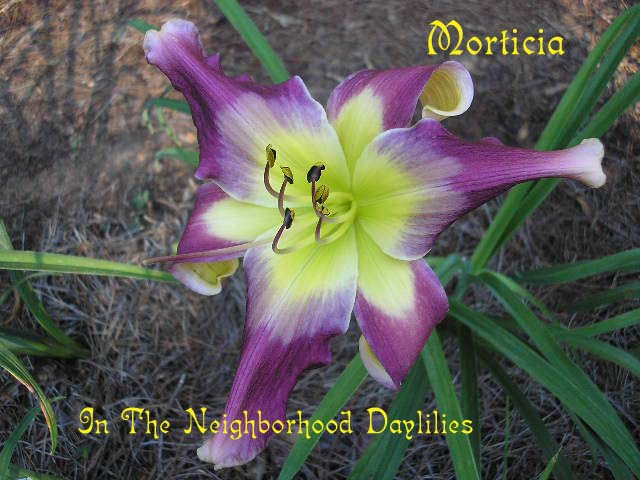 Morticia (Munson, R.W., 1994)-Daylily Morticia;R.W.Munson Daylily;Burgundy Purple w' violet Plum Purple Eye Daylily;Award Winning Daylily;Unusual Form Daylily;Perennial;Midseason Daylily;Reblooming Daylilies;Tetraploid Daylily;Evergreen Daylily