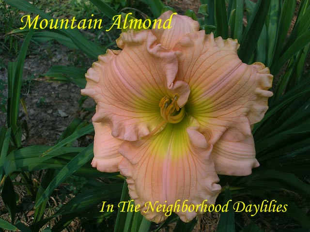 Mountain Almond  (Billingslea, 1991)-Daylily Mountain Almond;Billingslea Daylily;Almond Peach Self Daylily;Award Winning Daylily;Perennial;Affordable Daylilies;Midseason Daylily;Fragrant Daylilies;Extended Blooming Time Daylilies;Diploid Daylily;Semi-evergreen Daylily