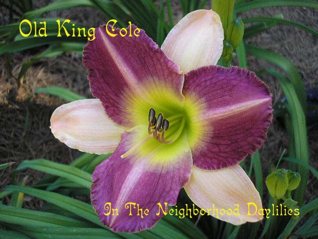Old King Cole (Moldovan, 1995)-Daylily Old King Cole;Moldovan Daylily;Red Purple w' Ivory Bicolor Daylily;Award Winning Daylily;Perennial;Affordable Daylilies;Miseason Daylily;Reblooming Daylily;Extended Blooming Time Daylilies;Tetraploid Daylily;Dormant Daylily