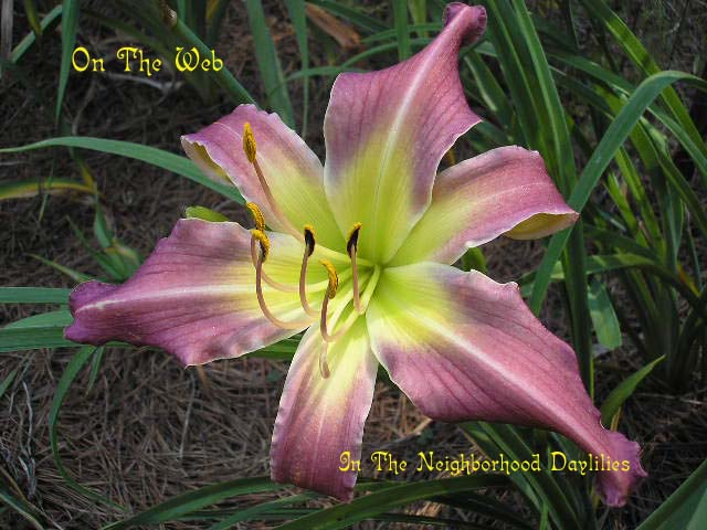 On The Web Lambertson, 1998-Daylily On The Web;Lambertson Daylily;Medium Violet Self Daylily;Spider Daylily;Perennials;Early To Midseason Daylilies;Tetraploid Daylily;Semi-evergreen Daylily