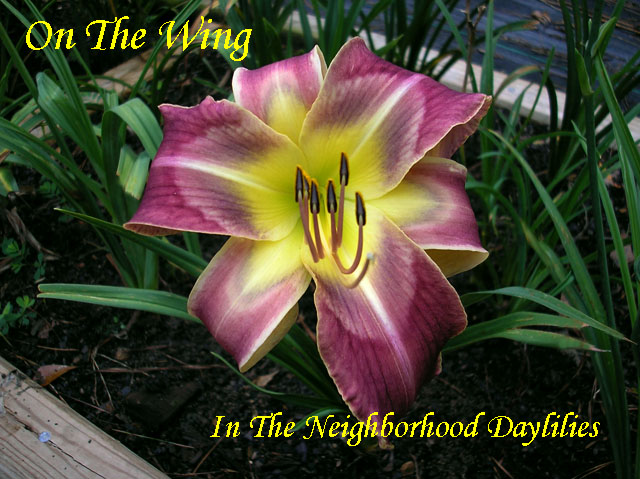 On The Wing  (Lambertson,  2008)-Daylily;Daylilies;Daylillies;Daylily On The Wing;Lambertson 2008 Daylily;Medium Purple w' Multiple Slate Eye & White Edge Above Green Throat Daylily;Reblooming Daylilies;Semi-evergreen Daylily