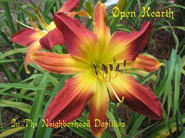 Open Hearth  (Lambert, 1976)-Daylily Open Hearth;Lambert Daylily;Red & Copper Bitone w' Ruby Halo Daylily;Award Winning Daylily;Unusual Form Daylily;Perennials;Affordable Daylilies;Midseason Daylily;Diploid Daylily;Dormant Daylily