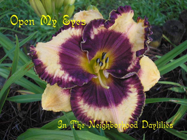 Open My Eyes  (Grace, L., 2001)-Daylily Open My Eyes;Larry Grace Daylily;Orange w' Dark Purple Eye Daylily;Award Winning Daylily;Perennials;Fragrant Daylilies; Early Season Daylily;Tetraploid Daylily;Evergreen Daylily