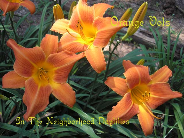 Orange Vols (Kirby, 1981)-Daylily Orange Vols;Kirby Daylily;Orange Bitone Daylily;Perennial;Affordable Daylilies;Midseason Daylily;Reblooming Daylilies;Extended Blooming Time Daylilies;Tetraploid Daylily;Dormant Daylily