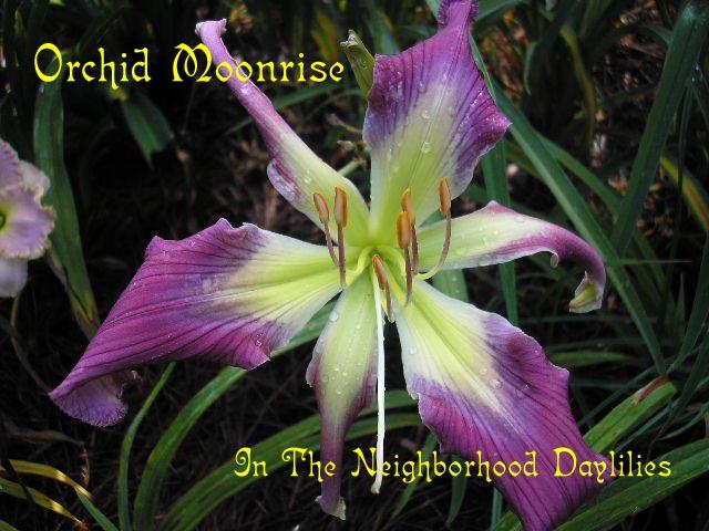 Orchid Moonrise  (Roberts, N., 2003)-Daylily;Daylilies;CLICK PICTURE;Daylily Orchid Moonrise;N.Roberts 2003 Daylily;Purple w' Gray Eye Daylily;Perennials;Early Season Daylily;Unusual Form Daylily;Diploid Daylily;Dormant Daylily