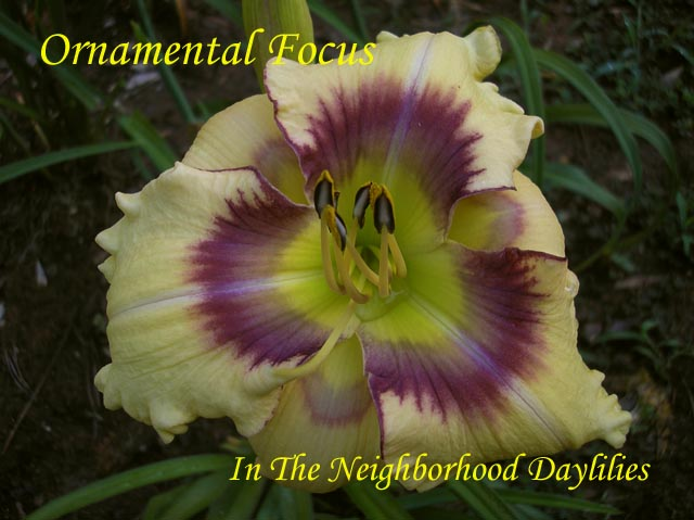 Ornamental Focus  (Stamile, 1999)-Daylily;Daylilies;CLICK ON IMAGE TO ENLARGE;Daylily Ornamental Focus;Stamile Daylily;Cream Yellow w' Burgundy Eye Daylily;Perennials;Extra Early Season Daylily;Reblooming Daylilies;Tetraploid Daylily;Evergreen Daylily