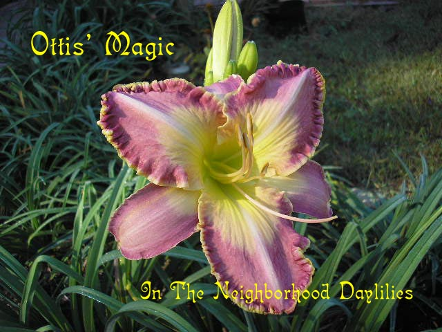 Ottis' Magic  (Houston, 1996)-Daylily;Daylilies;Daylillies;CLICK IMAGE TO ENLARGE;Daylily Ottis' Magic;1996 Houston Daylily;Lavender Cream Blend w' Gold Eye Daylily;Award Winning Daylily;Perennial;Fragrant Daylilies;Early To Midseason Daylily;Reblooming Daylilies;Tetraploid Daylily;Semi-evergreen Daylily
