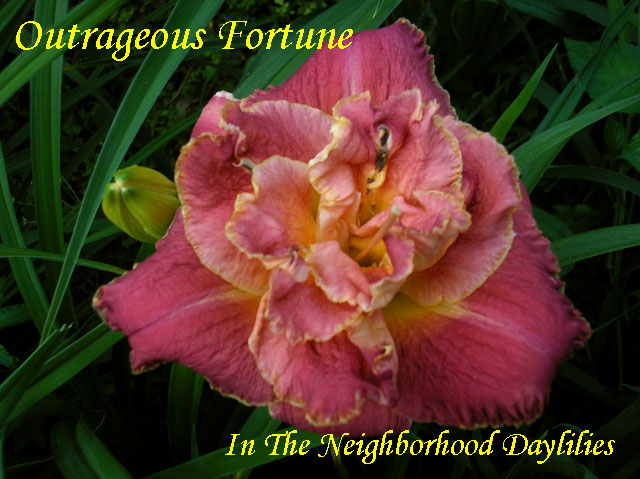 Outrageous  Fortune (Stamile, 2001)-CLICK PICTURE;Daylily Outrageous Fortune;Stamile Daylily;Red w' Gold Edge Daylily;Double Daylily;Daylily Pictures;Perennials;Fragrant Daylilies;Midseason Daylily;Reblooming Daylilies;Tetraploid Daylily;Evergreen Daylily