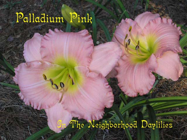 Palladian Pink  (Stamile, 1996)-Daylily Palladian Pink;Stamile Daylily;Pristine Pink Self w' Green Throat Daylily;Award Winning Daylily;Perennials;Affordable Daylilies;Early To Midseason DAylily;Reblooming Daylilies;Fragrant Daylilies;Extended Blooming Time Daylilies;Tetraploid Daylily;Semi-evergreen Daylily