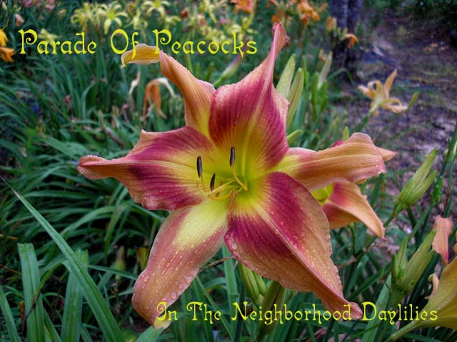 Parade Of Peacocks  (Oakes, 1990)-Daylily;Daylilies;Day Lily;Daylillies;CLICK ON IMAGE TO ENLARGE;Daylily Parade Of Peacocks;Oakes Daylily;Rose Peach w' Rose Eye Daylily;Award Winning Daylily;Unusual Form Daylily;Perennials;Affordable Daylilies;Mid To Late Season Daylily;Diploid Daylily;Dormant Daylily