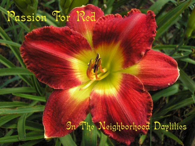 Passion For Red  (Stamile, 1994)-Daylily Passion For Red;Stamile Daylily;Scarlet Red Self Daylily;Award Winning Daylily;Perennial;Affordable Daylilies;Early To Midseason Daylily;Reblooming Daylilies;Fragrant Daylilies;Tetraploid Daylily;Semi-evergreen Daylily